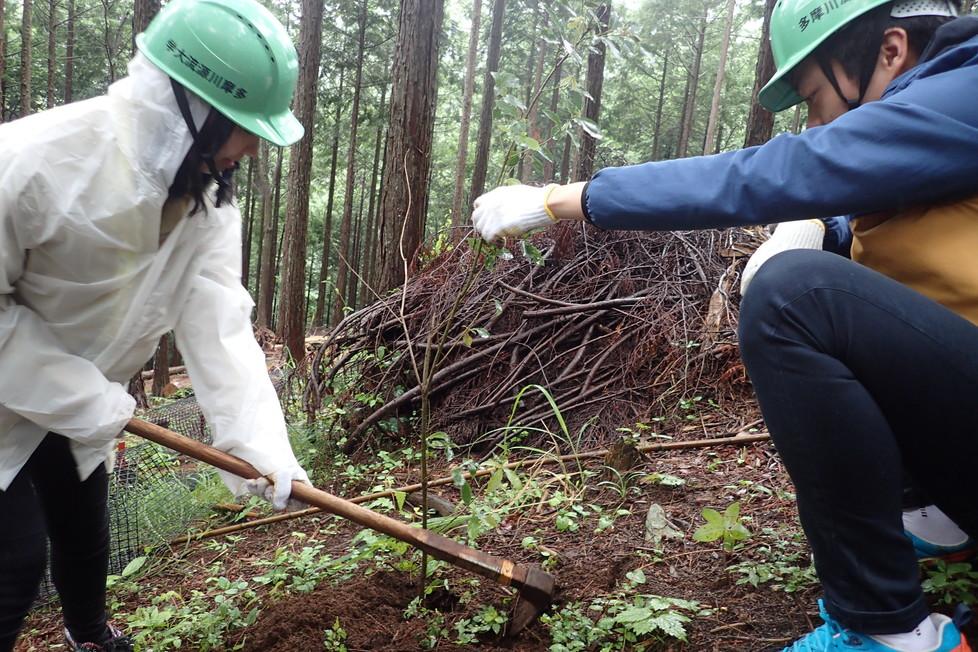 クワで苗の穴を堀り、苗を植えてから、またクワで土寄せをします。